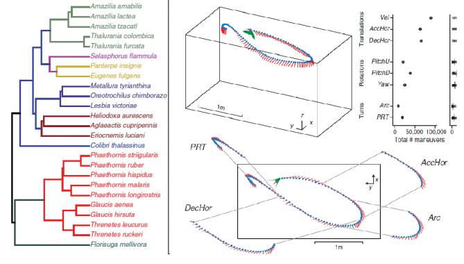 벌새의 감지기를 부착해 행동 패턴과 특징을 측정해 25종의 벌새들의 진화 가계도(왼쪽)를 작성했다. 행동패턴의 경우 회전방향전환(Pitch-roll turn, PRT), 감속(deceleration, DecHor), 회전방향전환(Arcing turn, Arc), 가속(Acceleration) 등의 능력이 포함됐다. - Science 제공